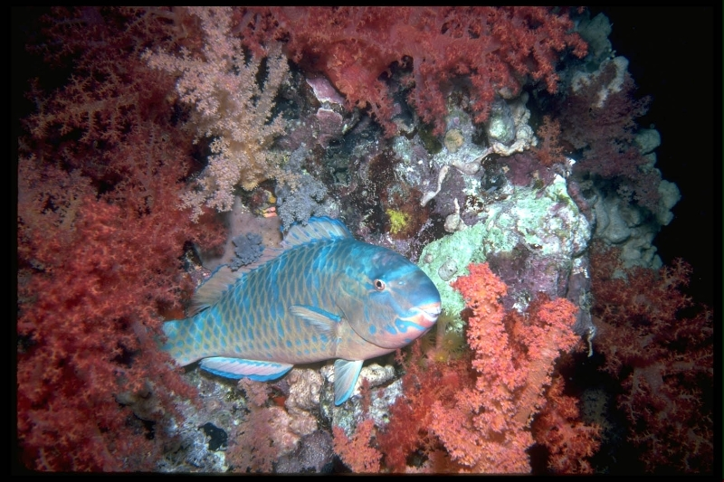 parrot-at-night_-red-sea