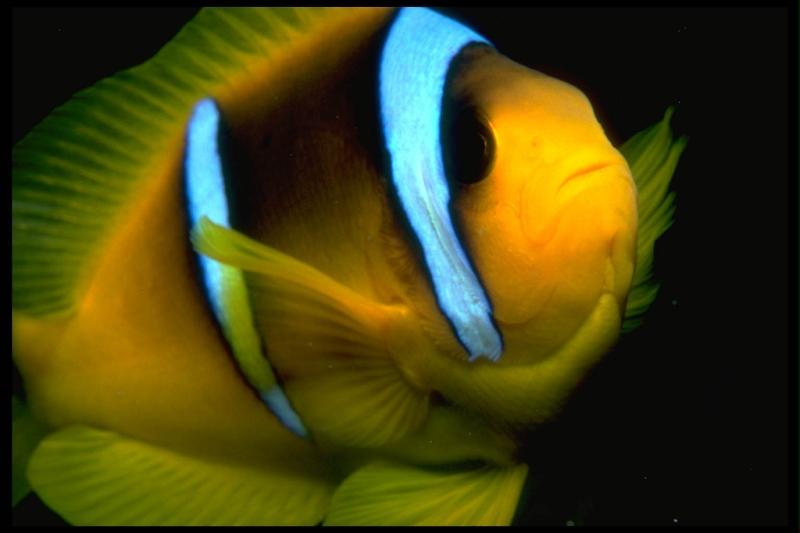 clown-fish-at-night_red-sea
