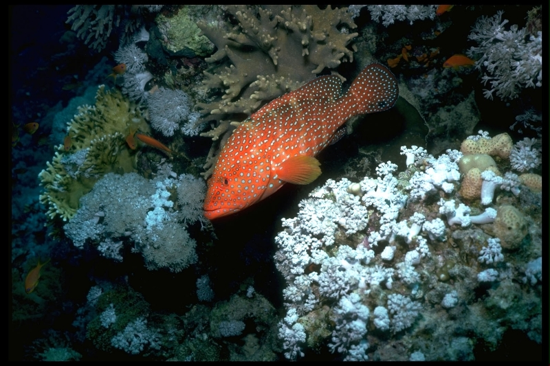 spotted-red-sea-bass
